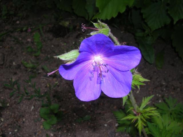 Saurez-vous reconnaître ce Geranium ? Dscn9620