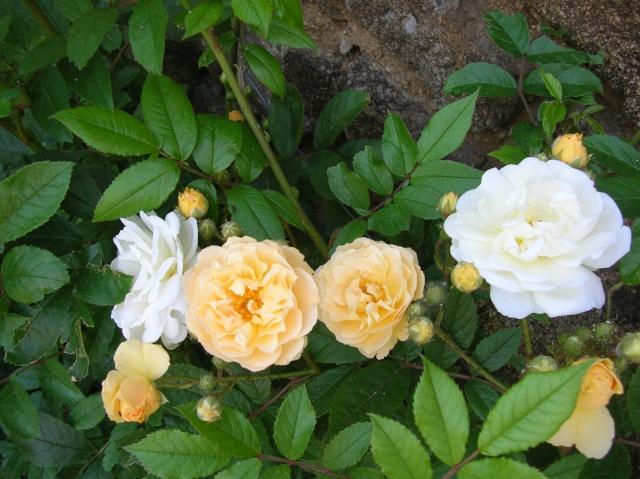 Les roses de l'Ardèche Dscn9710