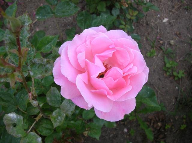 Les roses de l'Ardèche Dscn9711