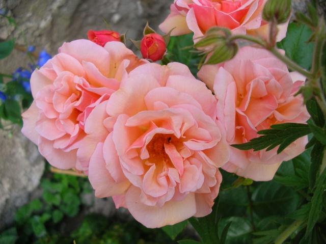 Les roses de l'Ardèche Dscn9712