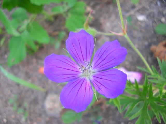 Saurez-vous reconnaître ce Geranium ? Dscn9714