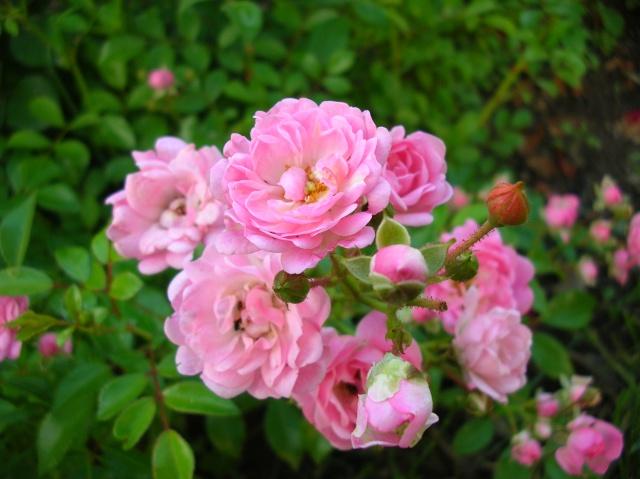 Les roses de l'Ardèche Dscn9716