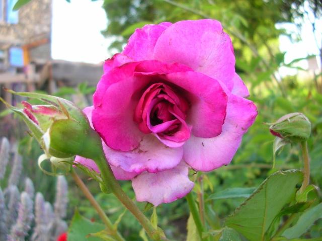 Les roses de l'Ardèche Dscn9717