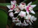 Hoya calycina en fleur Dscn1515