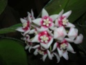 Hoya calycina en fleur Dscn1516