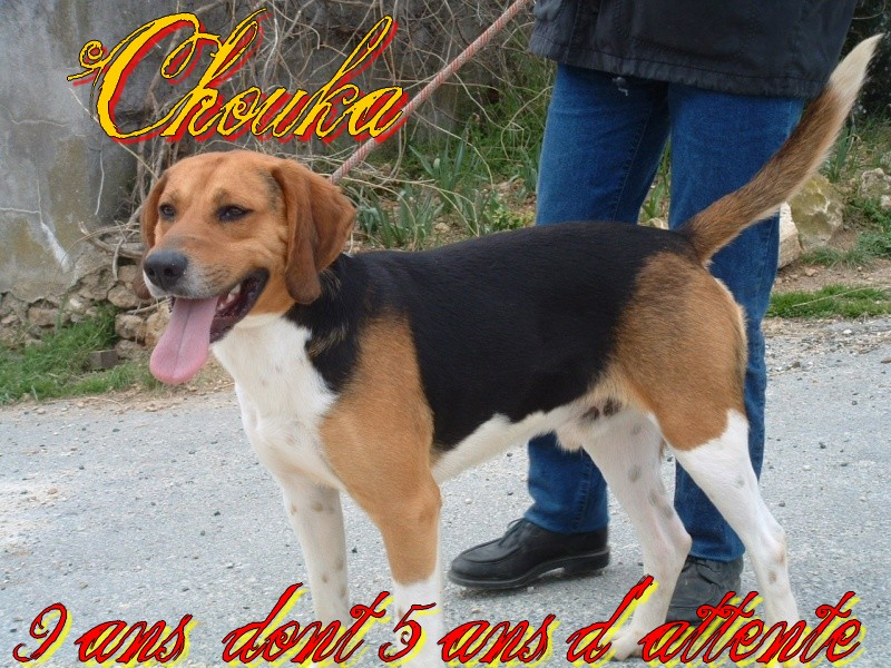 CHOUKA, beagle harrier, 9 ans (86) - Page 2 592_f_11