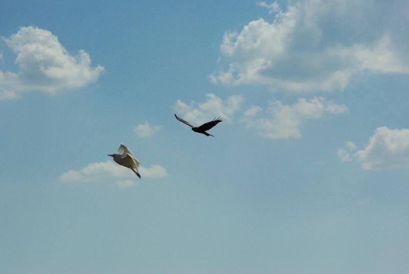 quelques photos d'oiseaux en vol Imgp0623