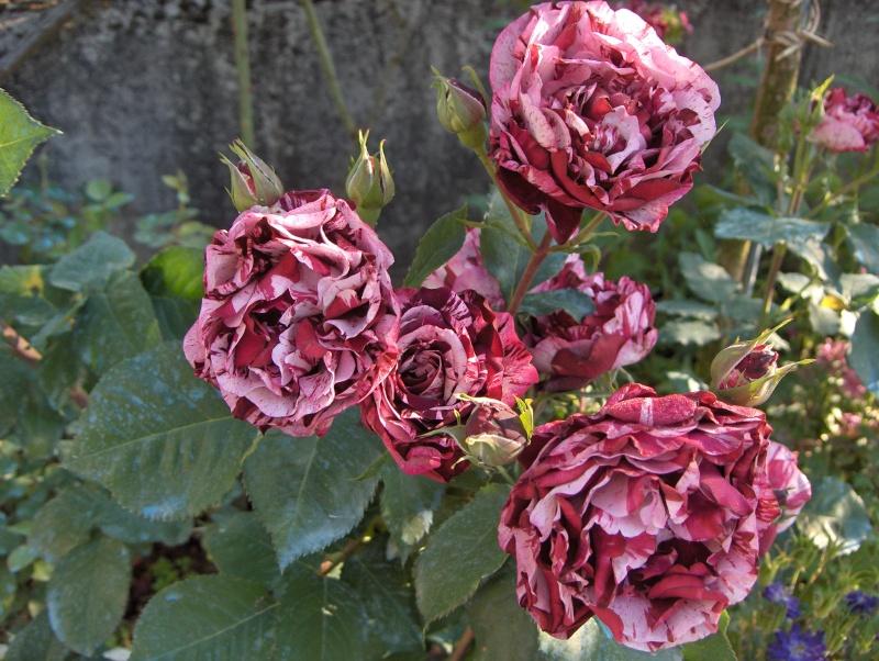 moi aussi j'ai de belles roses Mes_im15