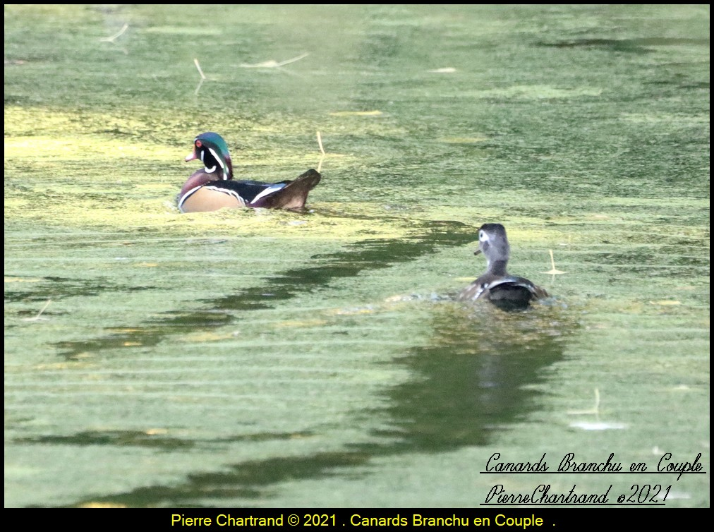 Parc Nature de la Pointe aux Prairies .Section Marais. Canar327