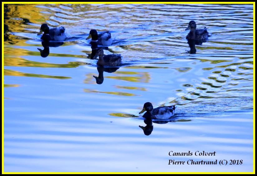 Aujourd'hui a Anjou sur le Lac Canard30
