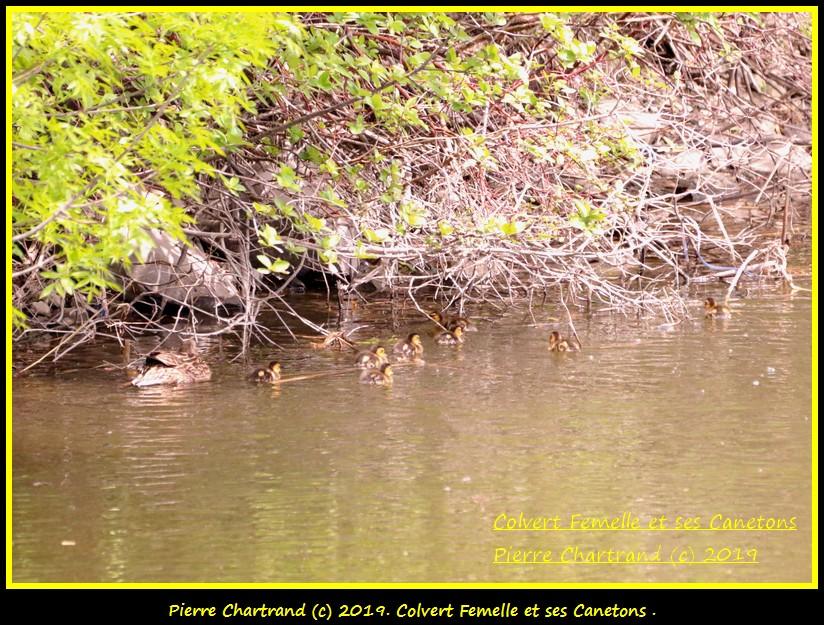 Dimanche 26 Mai ,Anjou sur le Lac , Anjou . Canard84