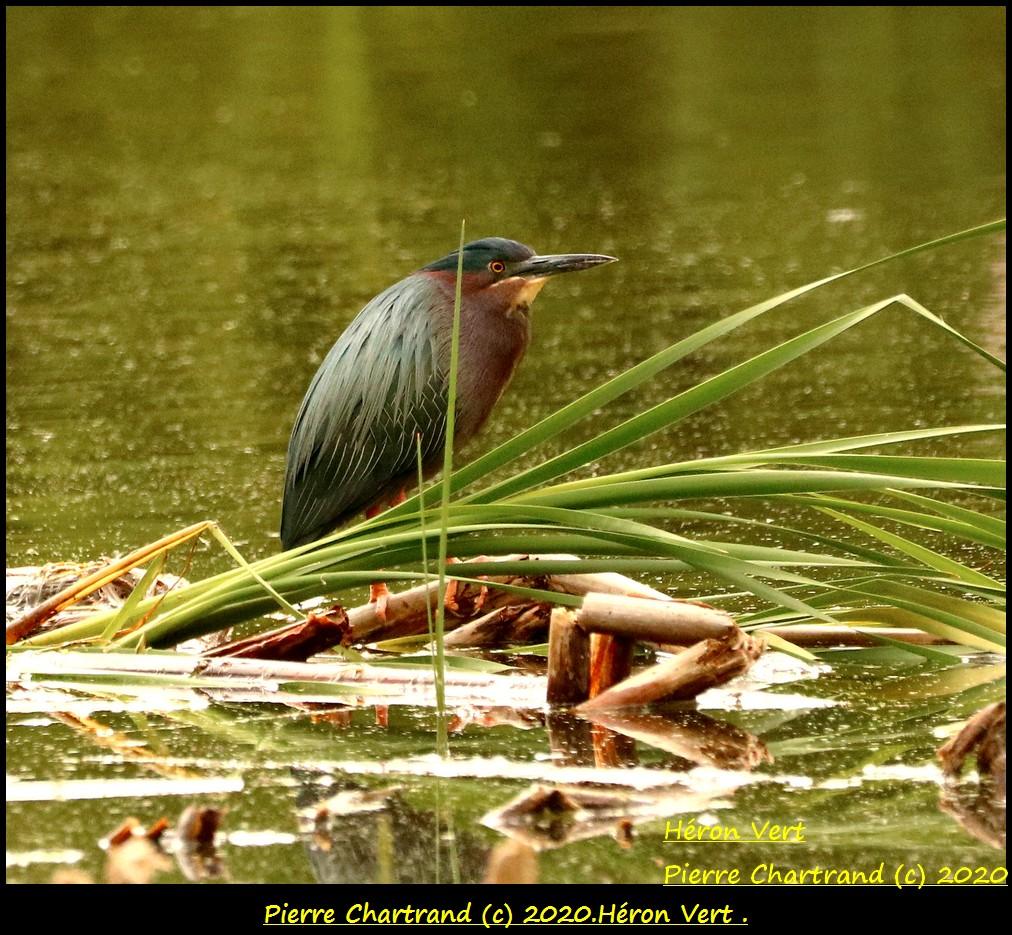 Parc Nature de La Pointe aux Prairies Secteur Marais . Hzoron15