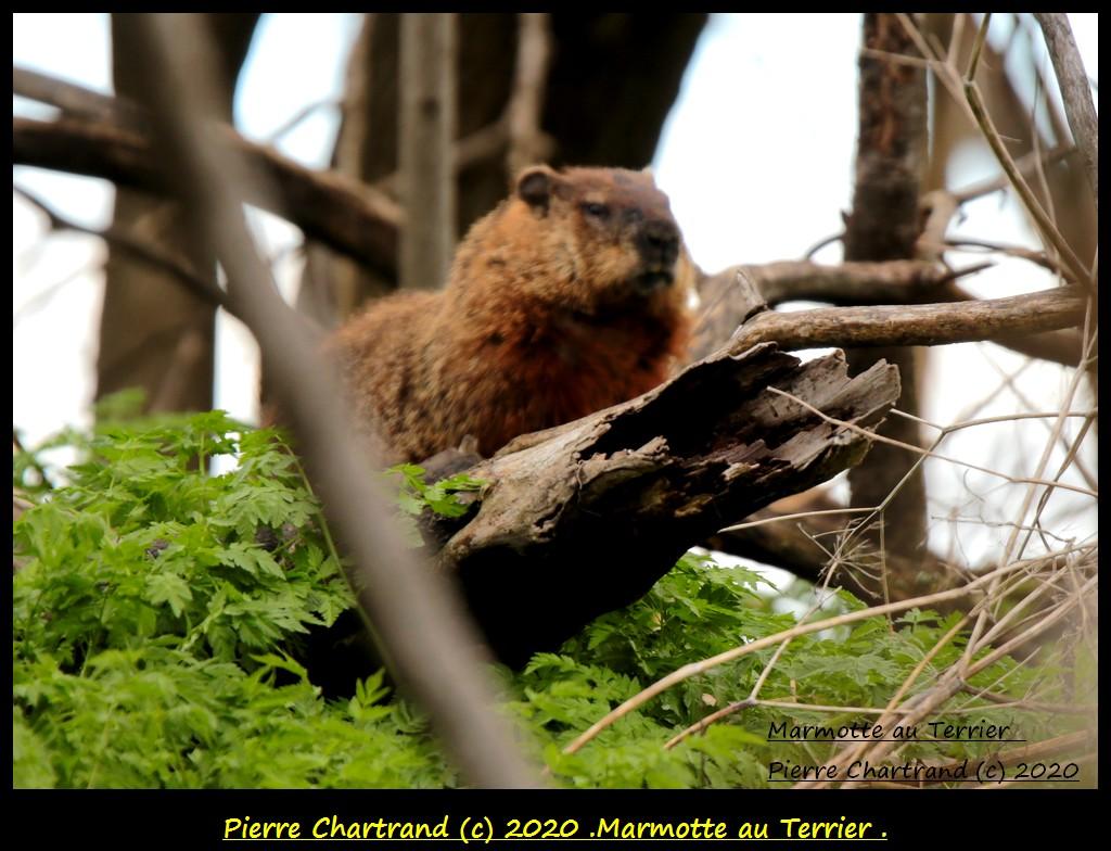 Boucherville, Samedi , 16 Mai 2020 . Marmot10