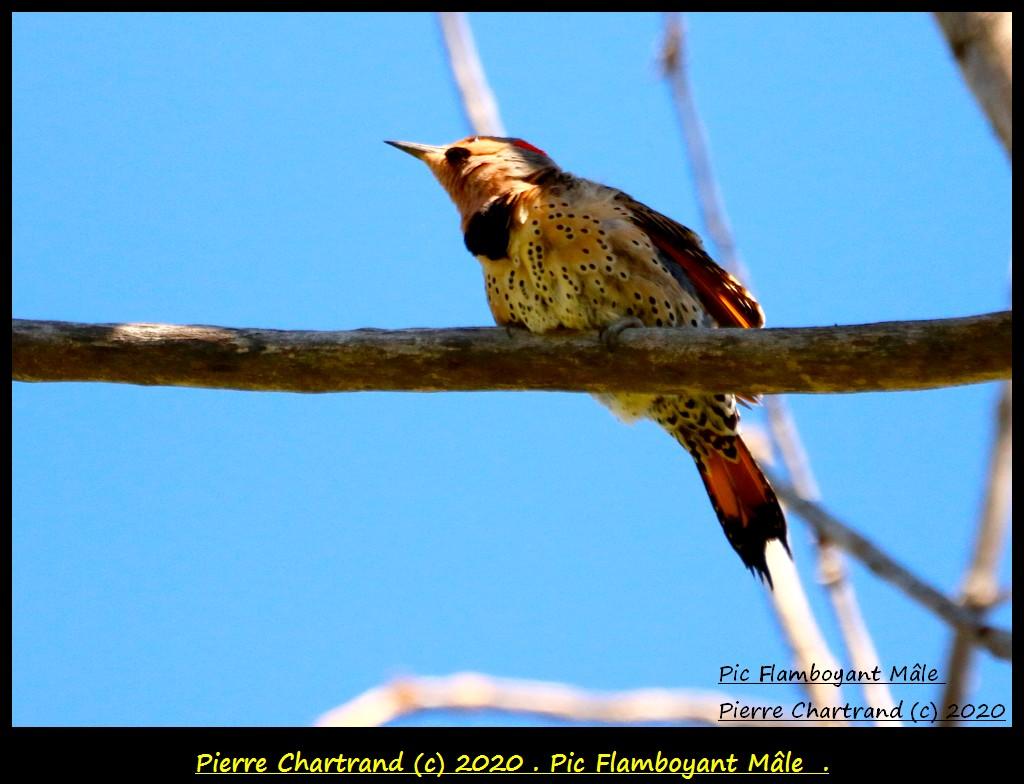 PIC FLAMBOYANT MÂLE  Pic_fl22