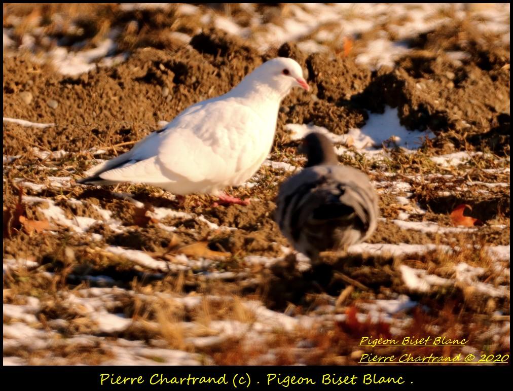 Mardi ,15 Décembre 2020 . Pigeon17