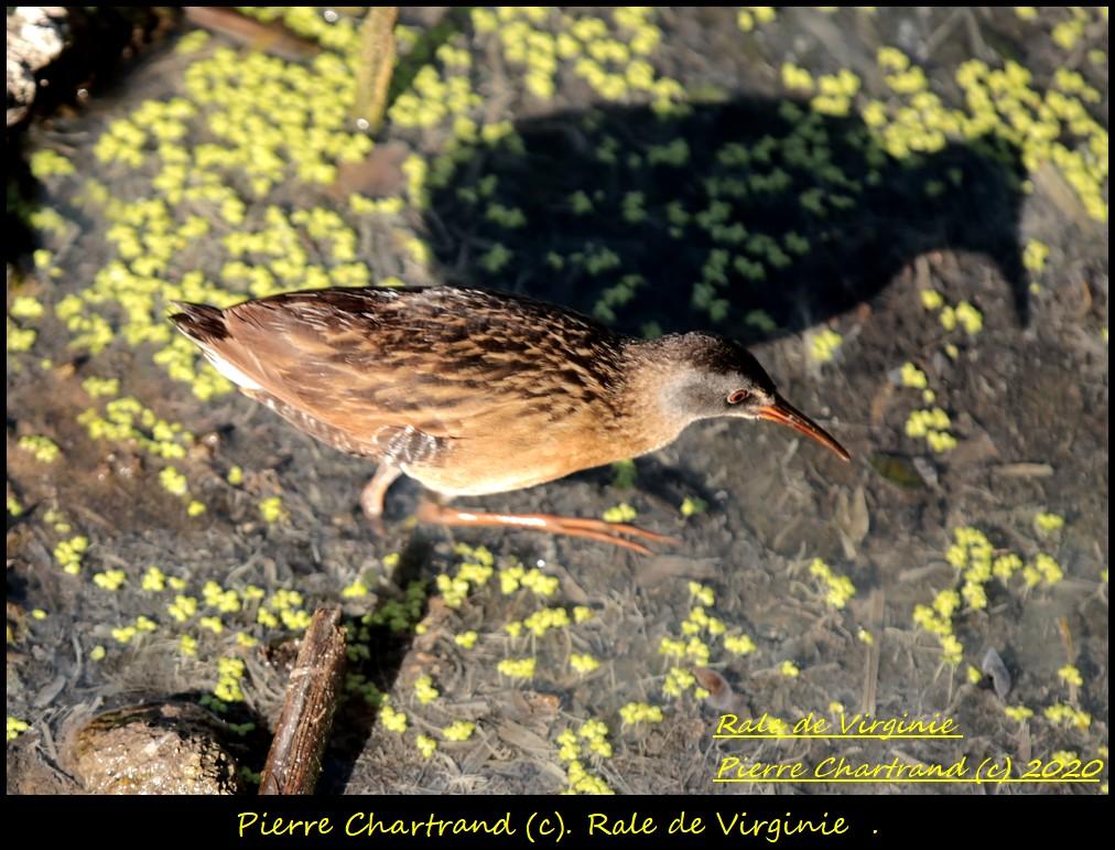 2 Oiseaux special  Rale_d15