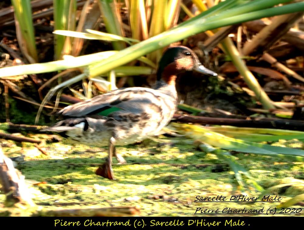 2 Oiseaux special  Sarcel28