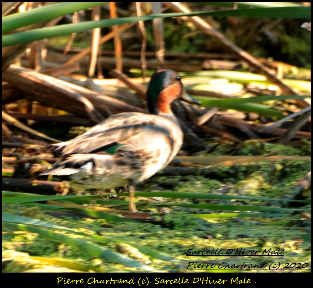 2 Oiseaux special  Sarcel29