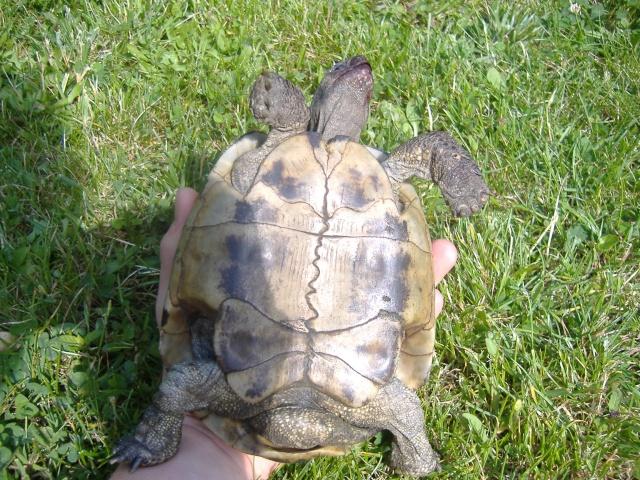 Estimation d'un âge très avancé pour une tortue et Les sutures en zig-zag. Dscf1344