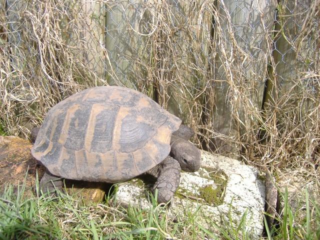 Estimation d'un âge très avancé pour une tortue et Les sutures en zig-zag. Dscf1515