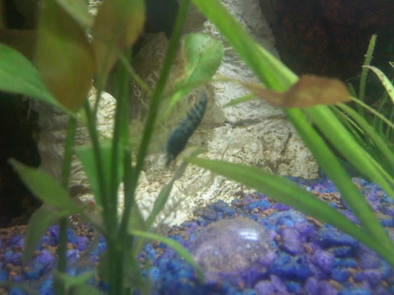Quelques photos de mes crevettes Img00310