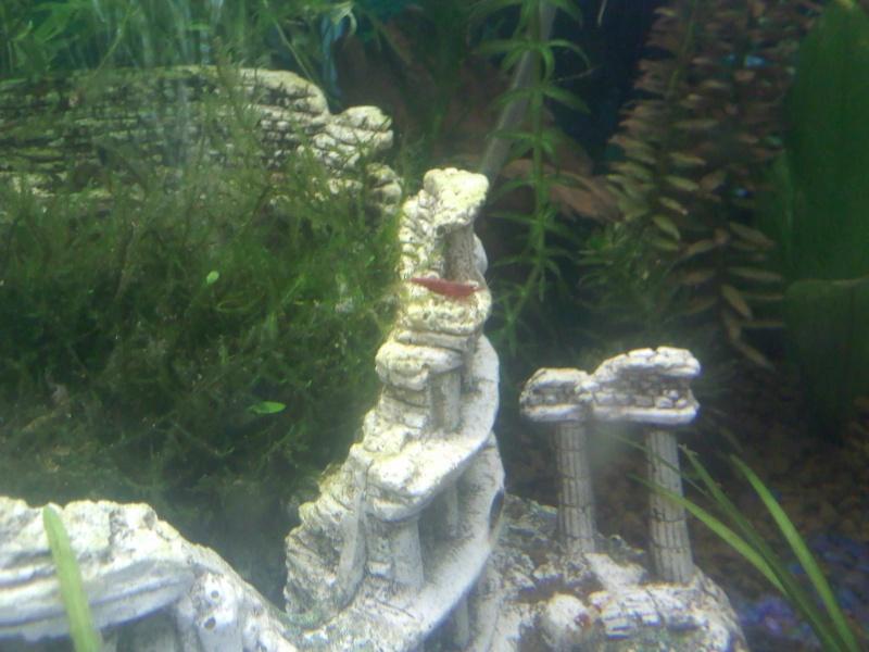 Quelques photos de mes crevettes Img00610