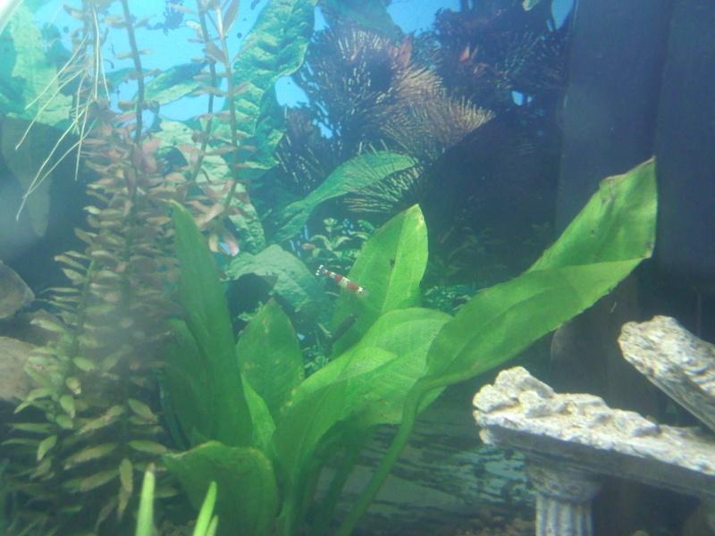Quelques photos de mes crevettes Img06510