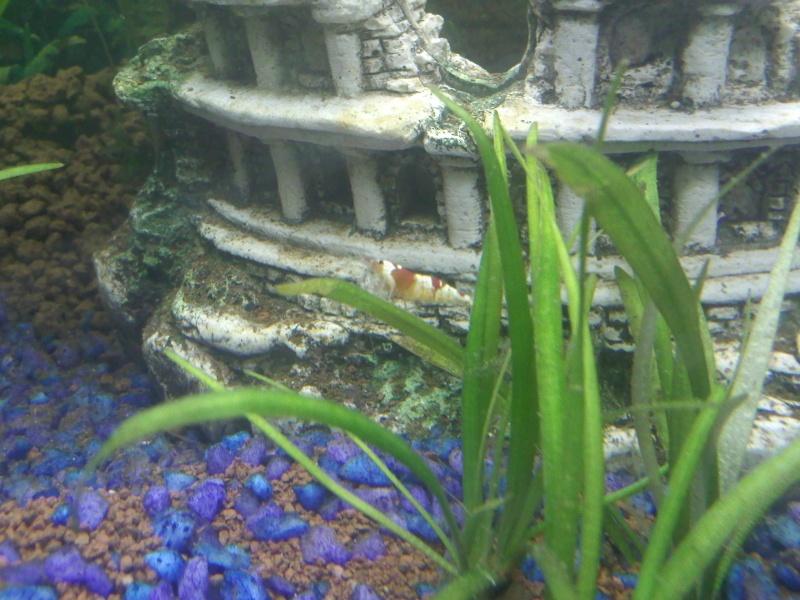Quelques photos de mes crevettes Img07010