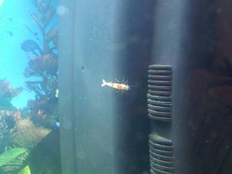 Quelques photos de mes crevettes Img07110