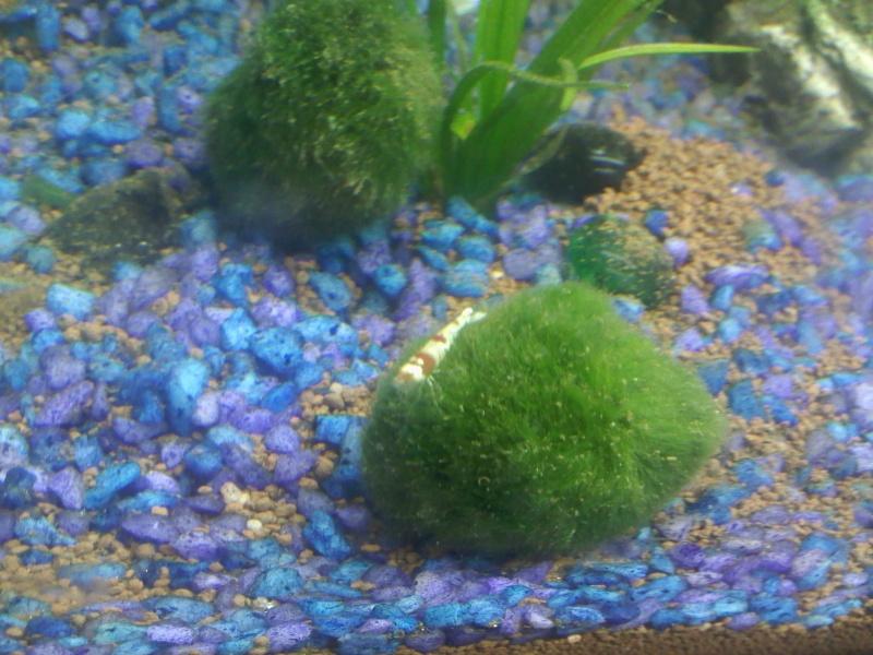 Quelques photos de mes crevettes Img07711