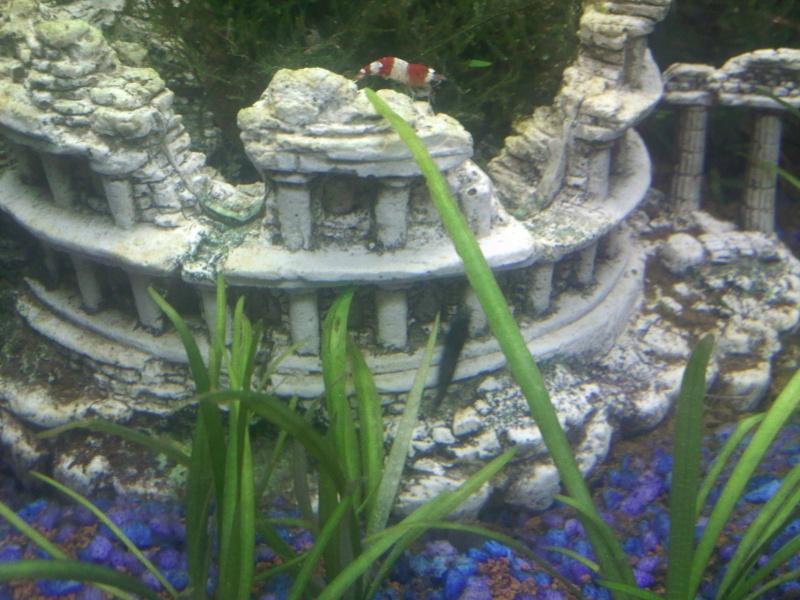 Quelques photos de mes crevettes Img08010