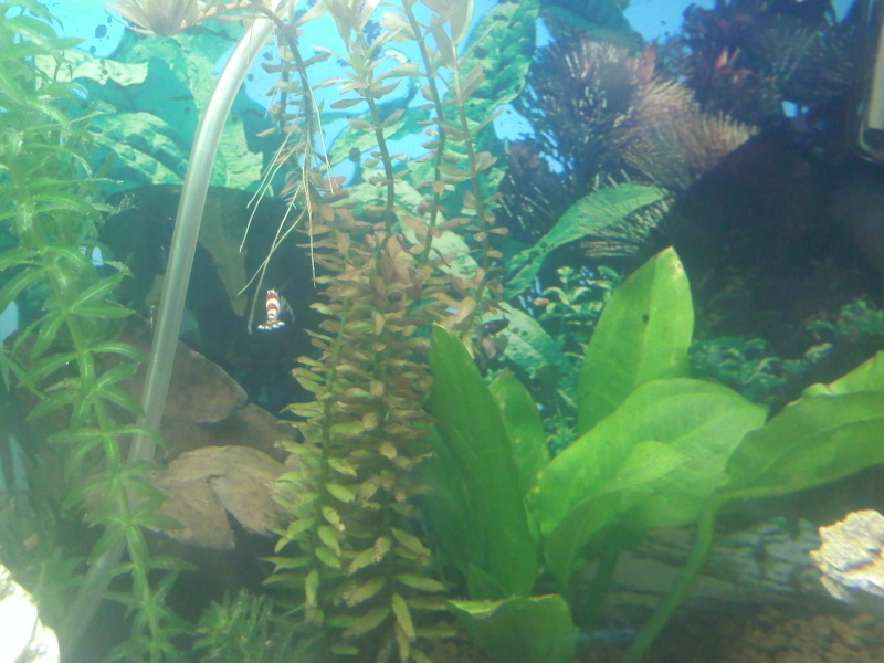 Quelques photos de mes crevettes Img08210