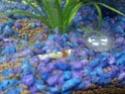 Quelques photos de mes crevettes Img05910