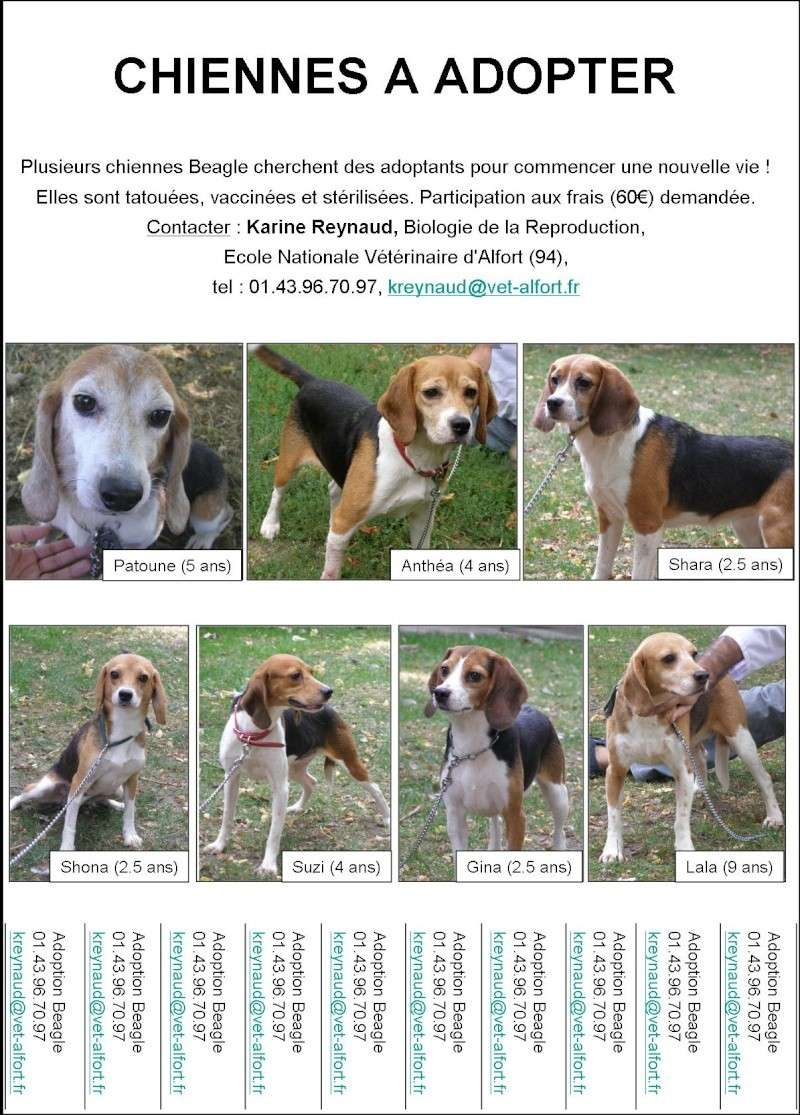 Chiennes Beagle A Adopter Sorties De Laboratoires