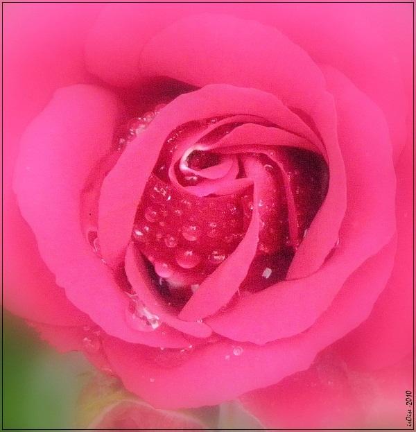 Concours du mois de juin 2010. Thème : Au nom de la rose Rose_f10