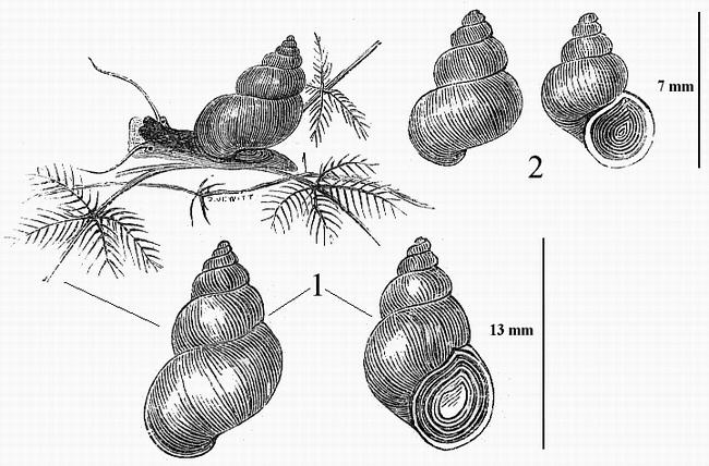 espèce dulcicole Bithyn10