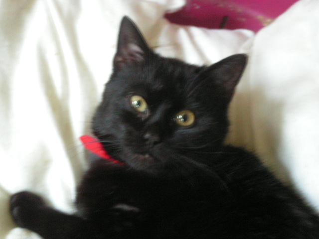 Superbe male noir (refuge de bethune 62) Pict4621