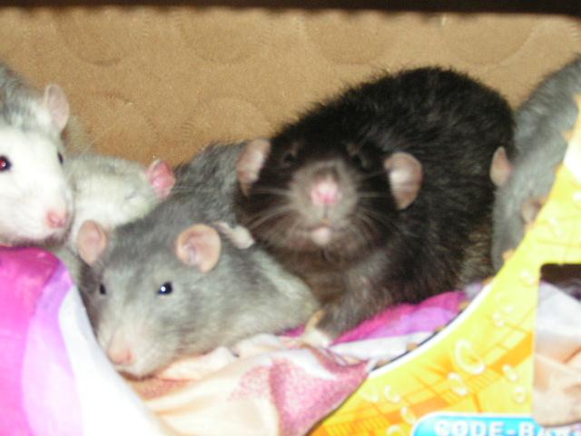 4 rats males adultes (- 1 an) et un bébé (62) Pict4720
