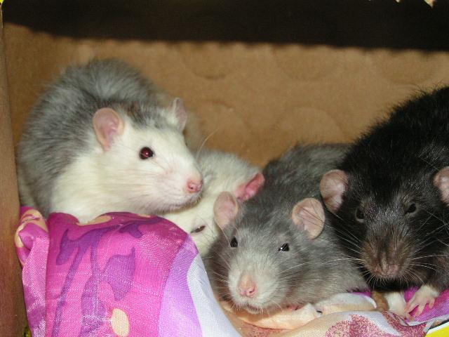 4 rats males adultes (- 1 an) et un bébé (62) Pict4721
