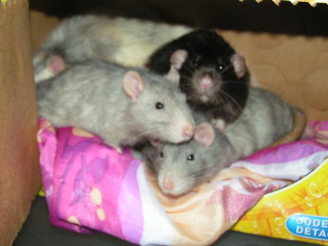 4 rats males adultes (- 1 an) et un bébé (62) Pict4722