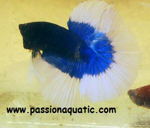 betta passionaquatic [LABYRINTHIDES]  Bleu_b10