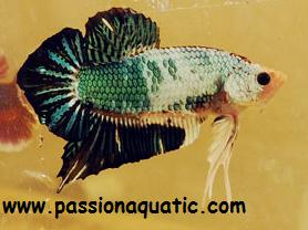 betta passionaquatic [LABYRINTHIDES]  Golden10