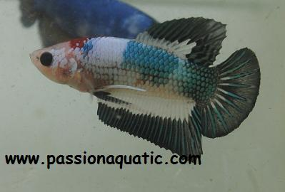 betta passionaquatic [LABYRINTHIDES]  Pkhmbl10