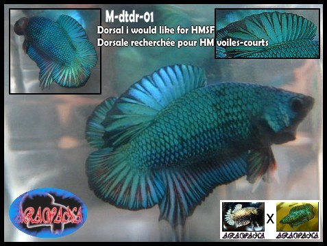 M Black copper dragon PK X F DTPK breen lace : les jeunes M_dtdr12