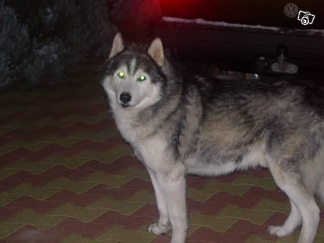 husky mâle proche Clermont-Ferrand 41879610