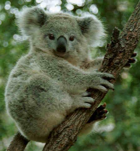 Les nanimaux que vous aimeriez avoir... ? - Page 2 Koala410