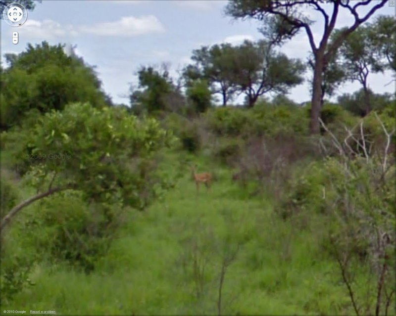 STREET VIEW : Les animaux - Page 5 Antilo10