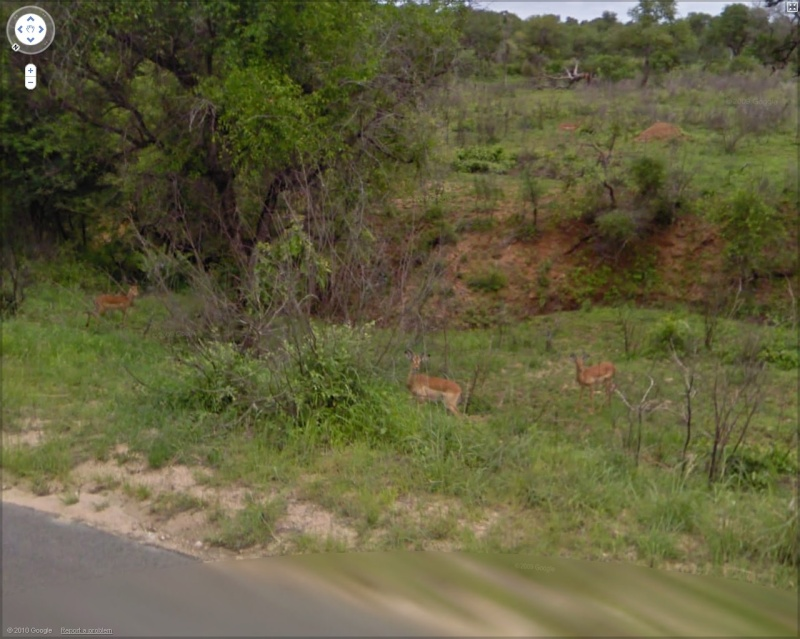 STREET VIEW : Les animaux - Page 5 Antilo11