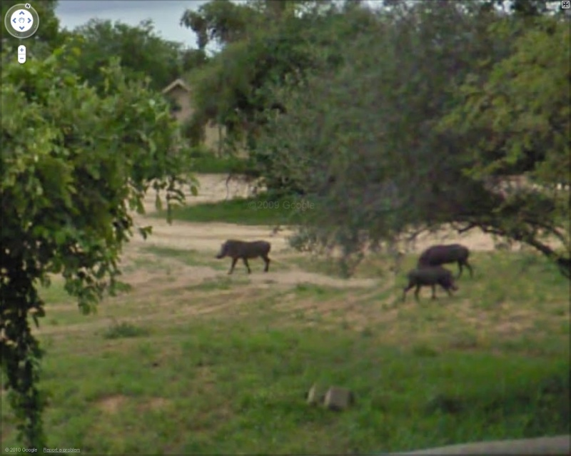 STREET VIEW : Les animaux - Page 5 Phacoc10