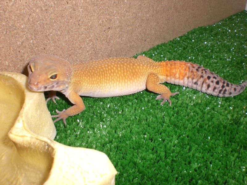 mes gecko Cimg2710